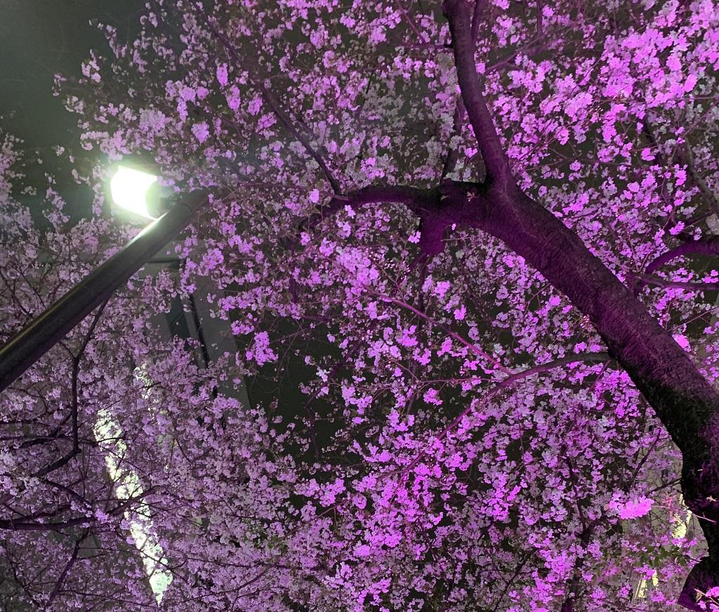 桜丘の桜2020年4月